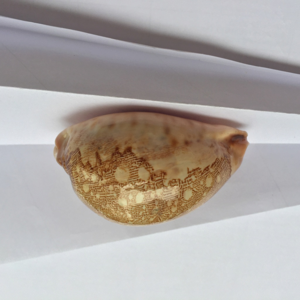 Leporicypraea - 1 Img_8119