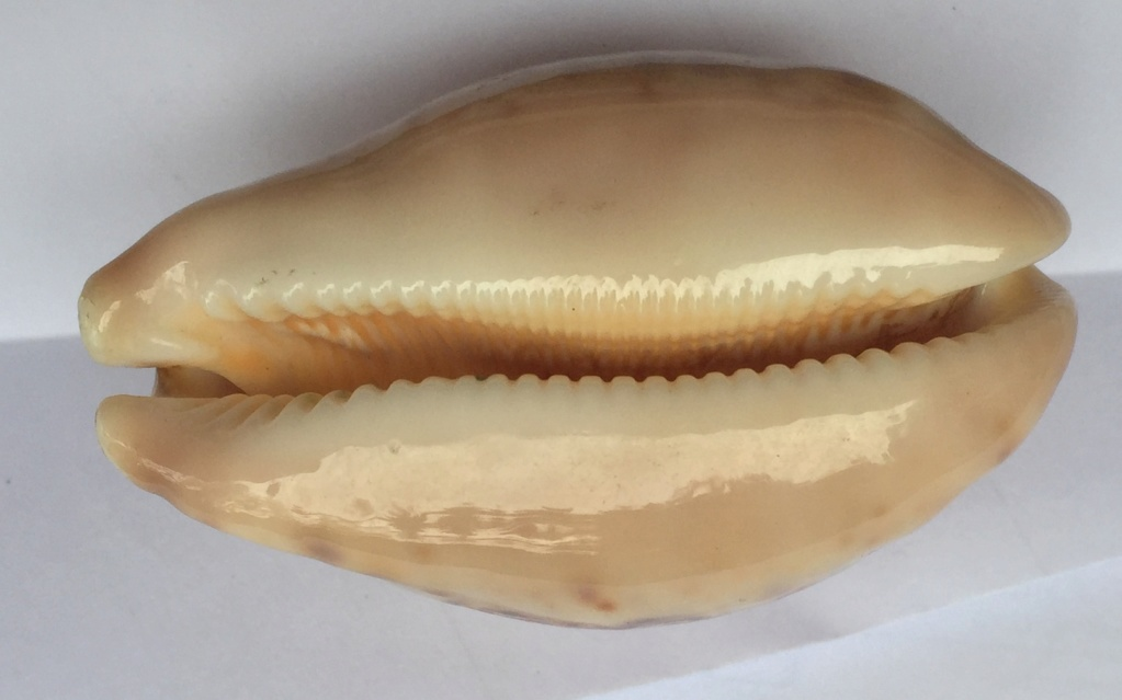 Leporicypraea  - 4 Img_8130