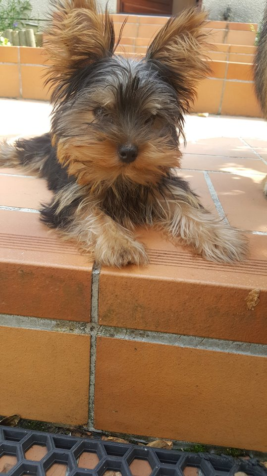 "OREO Ma "" petite souris "" lol ( Yorkshire Terrier) :) 34827310"
