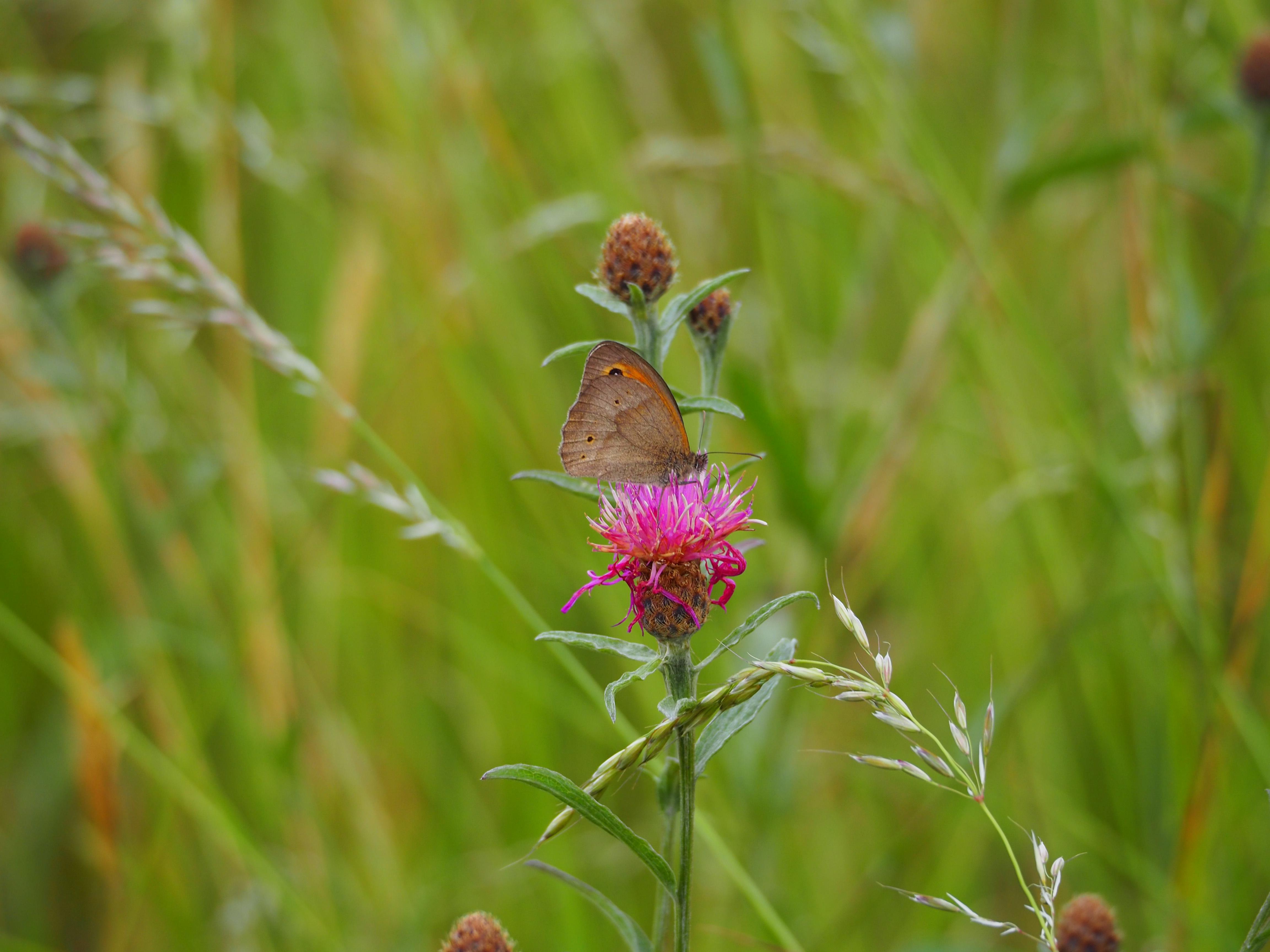 Identification de papillons P6070610