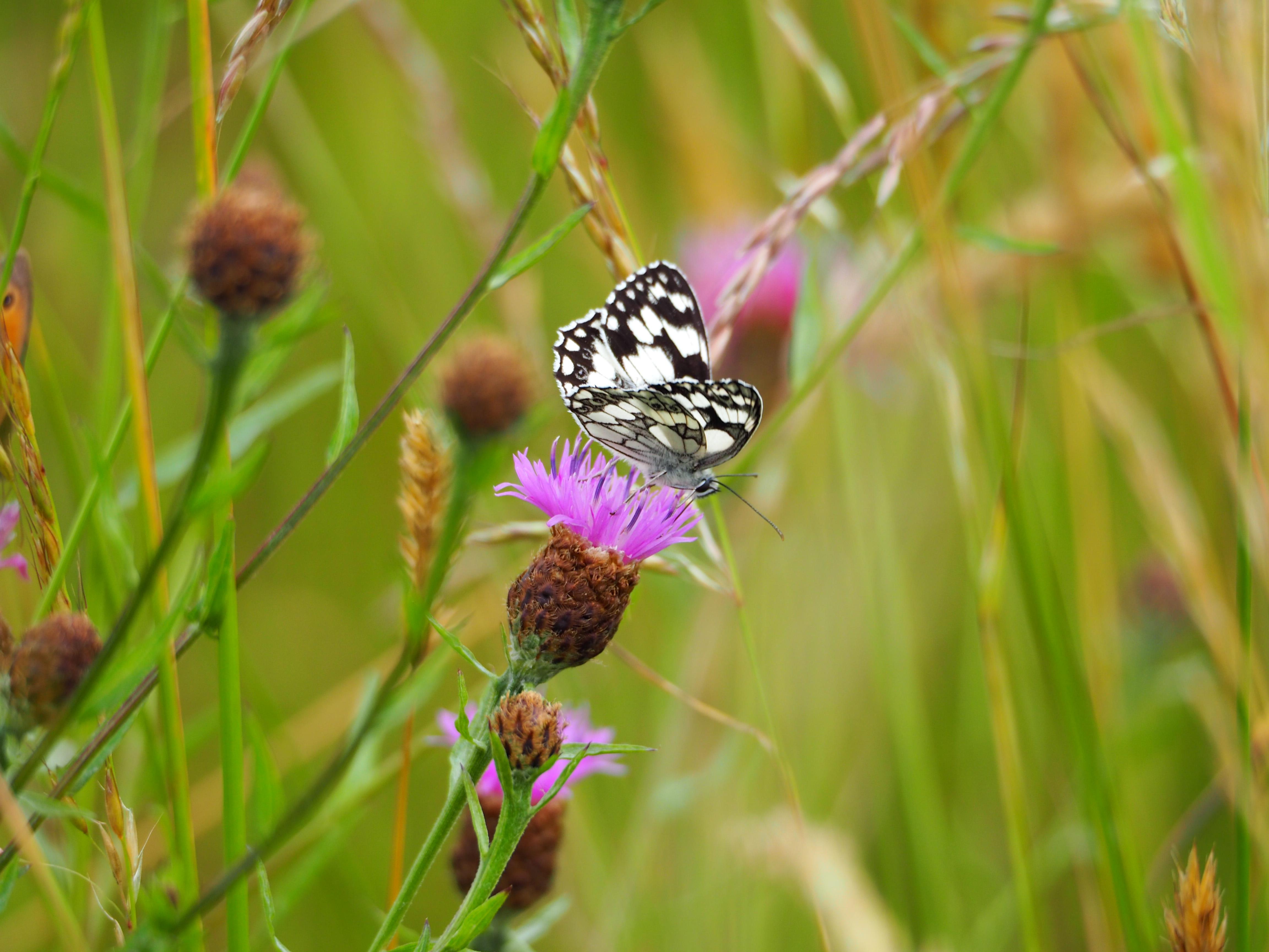 Identification de papillons P6070611
