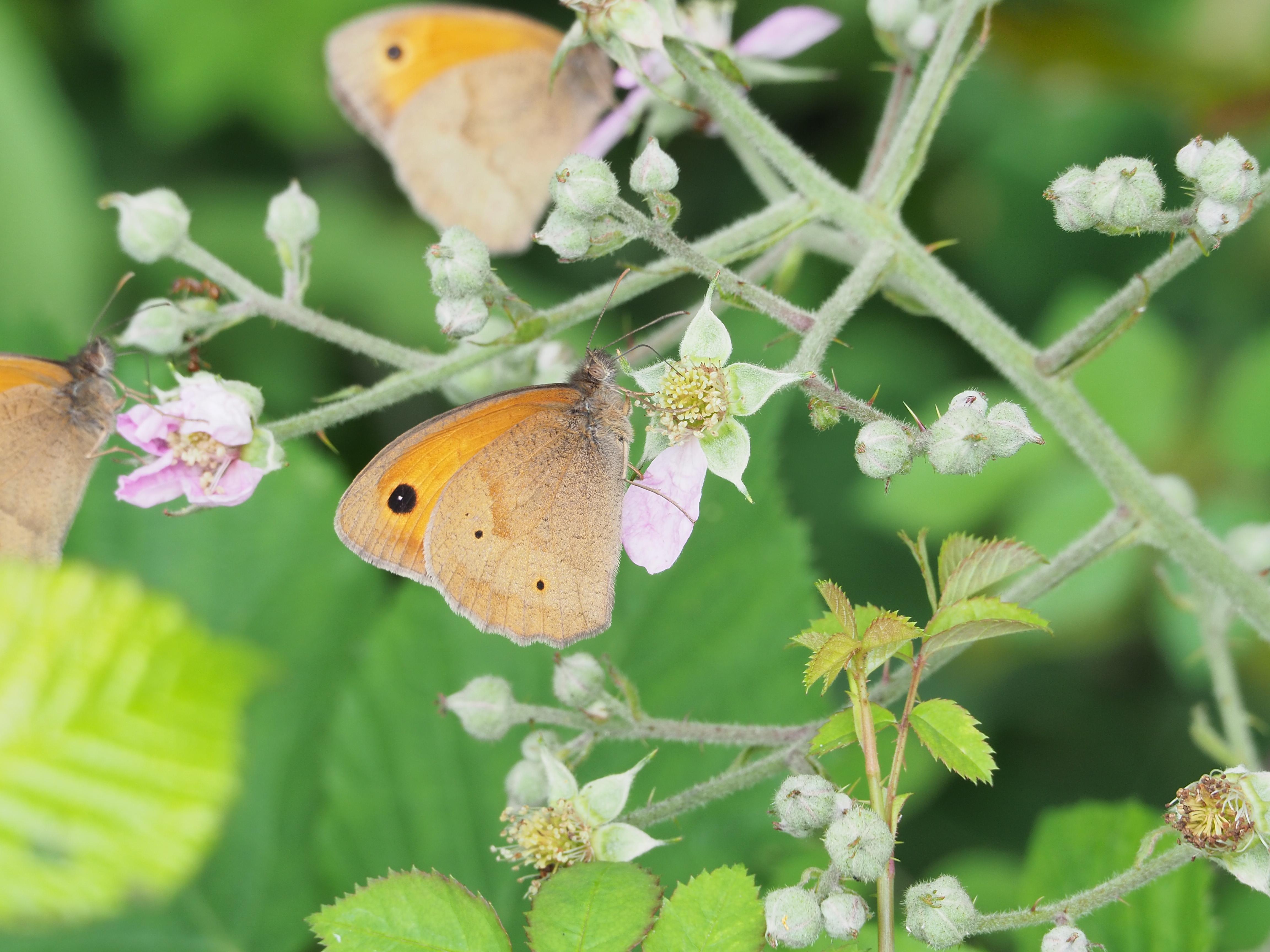 Identification de papillons P6070710