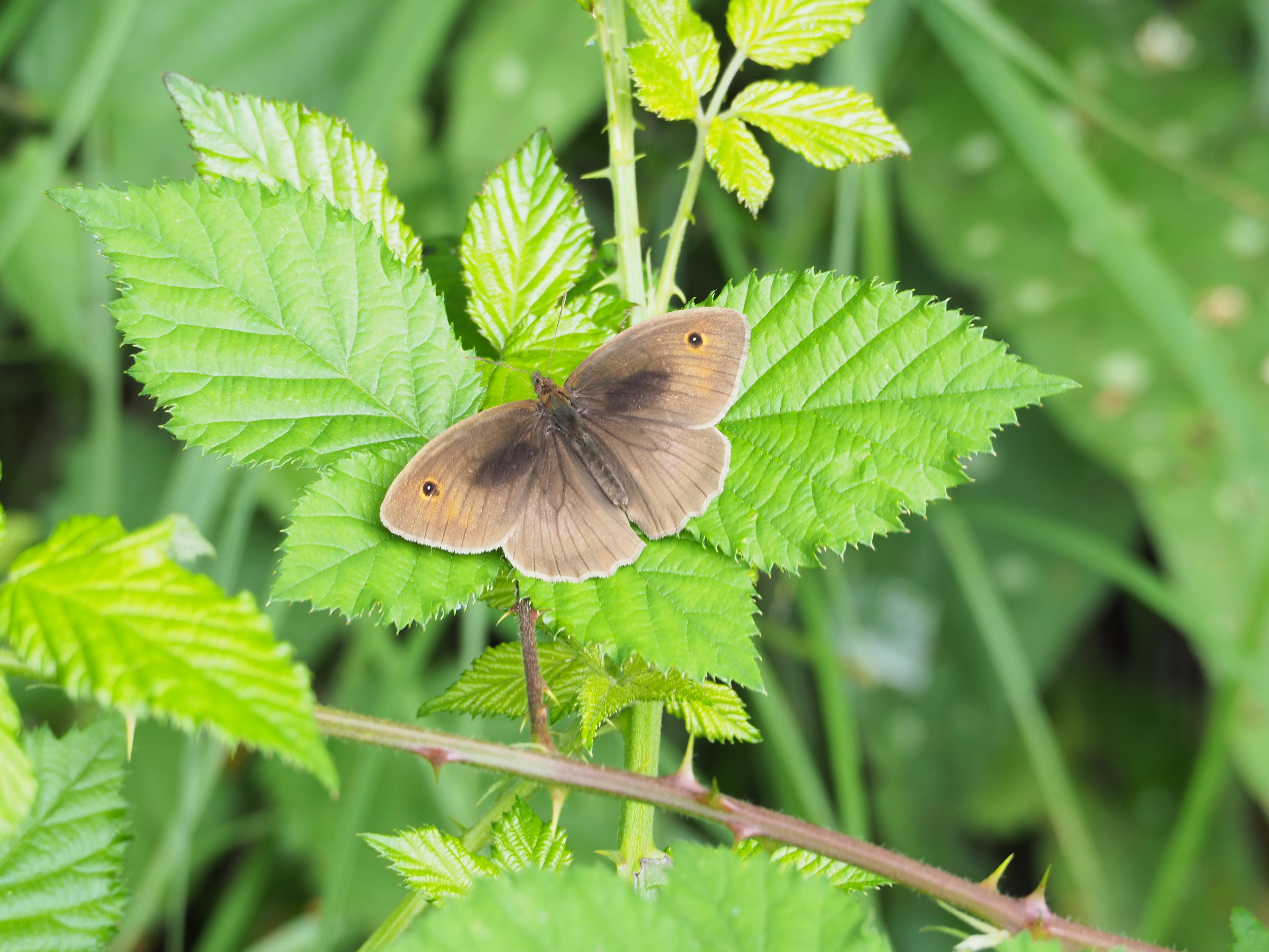 Identification de papillons P6070711