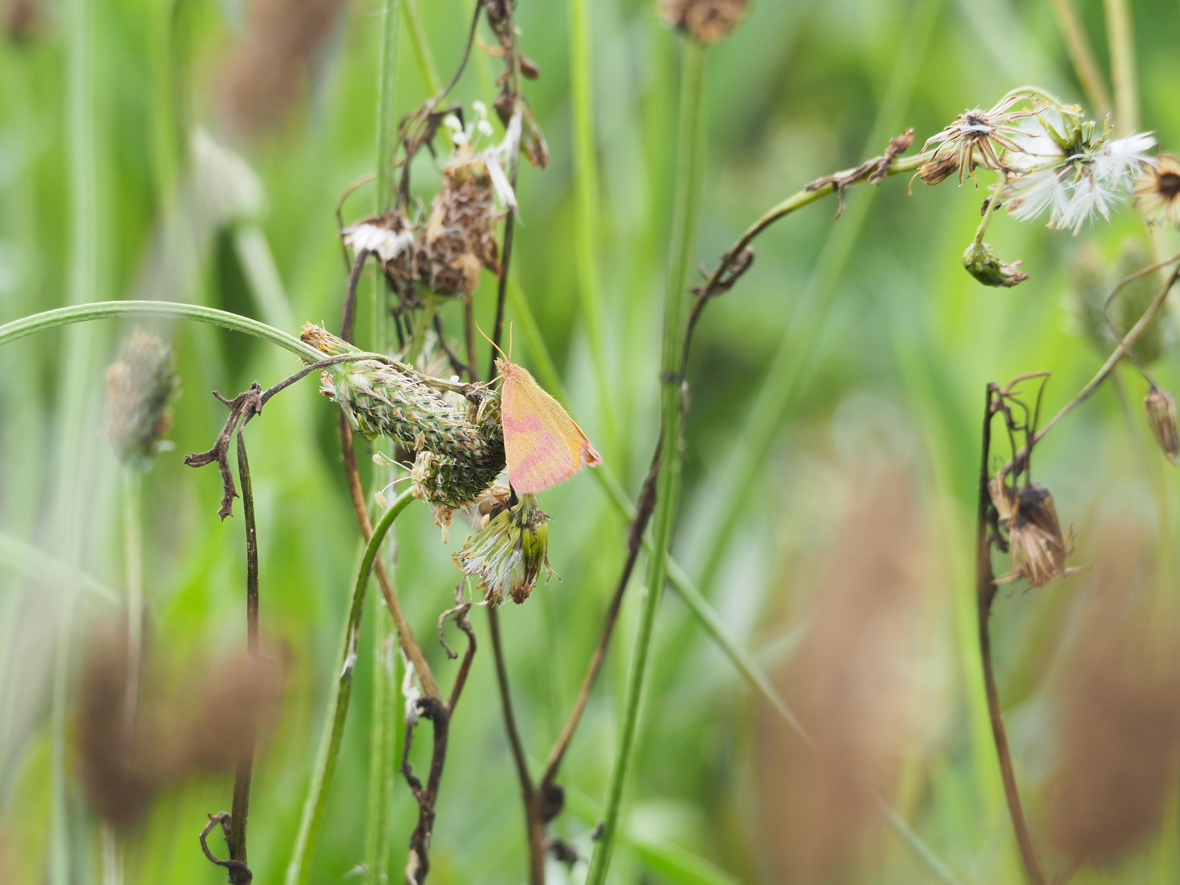Identification de papillons P6070712