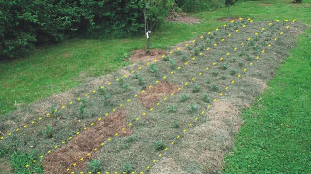 plants de patates - Page 16 Pommes11