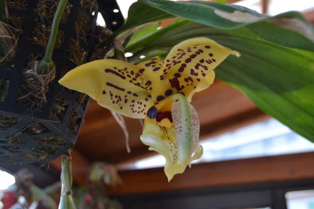 Stanhopea assidensis Stanho10