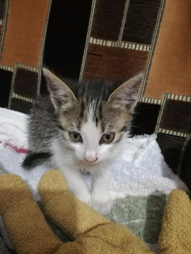 PEPITO, chaton mâle, né environ en mars 2018 - Pascani - adopté par Vanessa(83) Pepite11