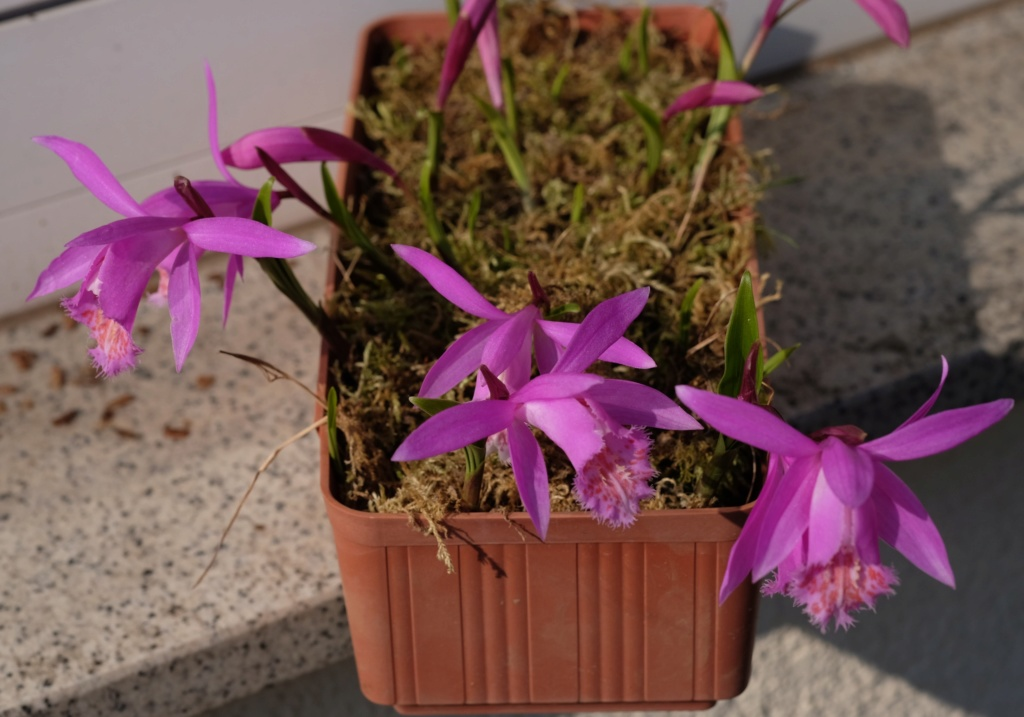 Orchideen 3 (fortlaufende Seiten 300 bis 400) - Seite 67 Pleion11