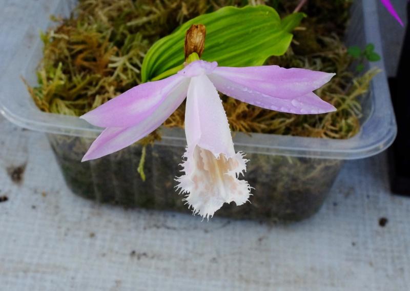 Orchideen 3 (fortlaufende Seiten 300 bis 400) - Seite 67 Pleios20