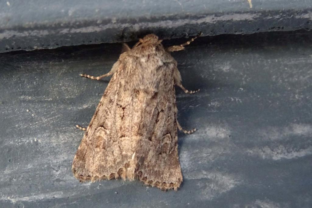 Deux noctuelles du Croisic en attente : Luperina dumerilii +testacea Dsc02710