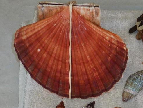 Pecten jacobaeus - (Linnaeus, 1758)  Zderni10