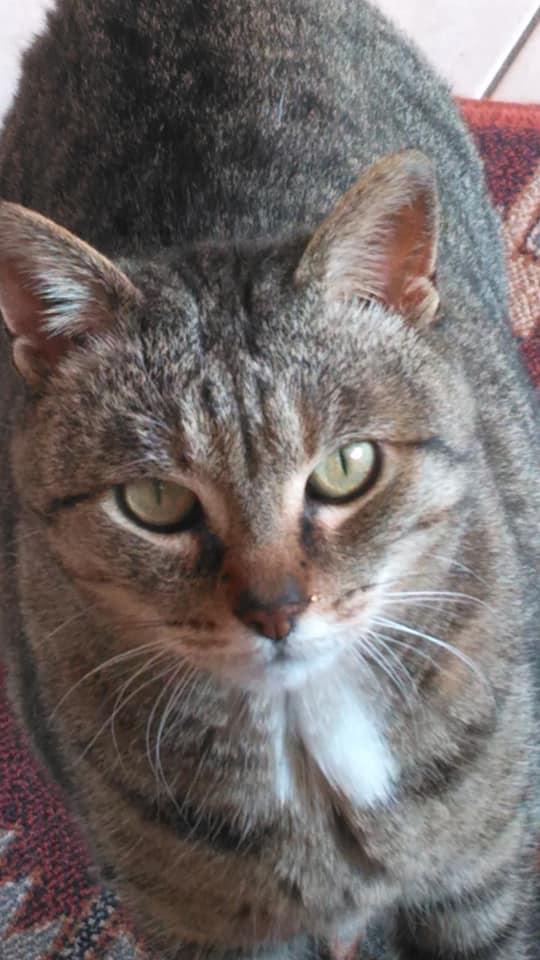 Helza, femelle Euro tabby fauve, née en 2012 49145511
