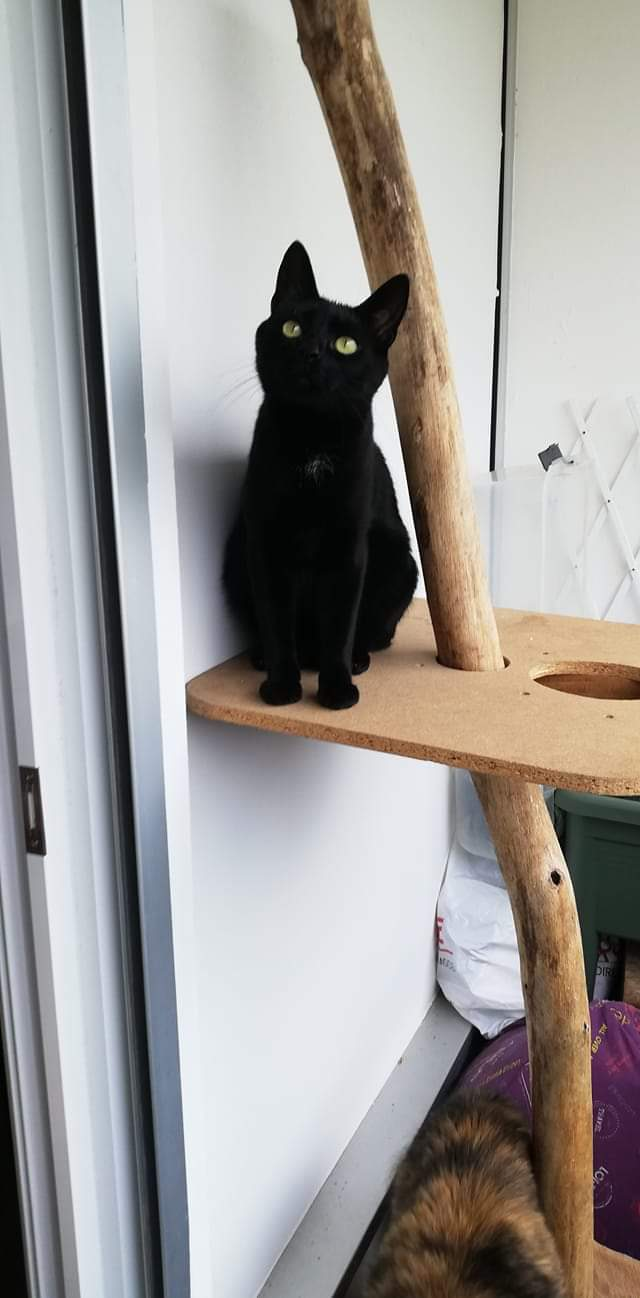 Néji, chaton noir, né le 30/05/17 Fb_img50