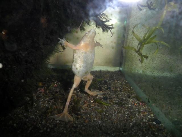 Mes grenouilles de petites tailles - Page 14 Sam_4217
