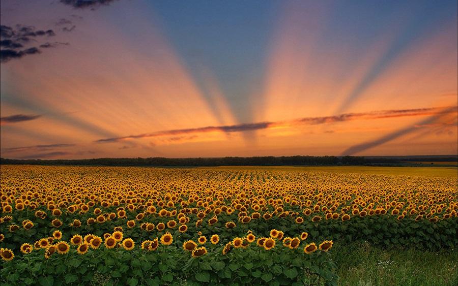 Suncokreti-sunflowers - Page 28 Fields10
