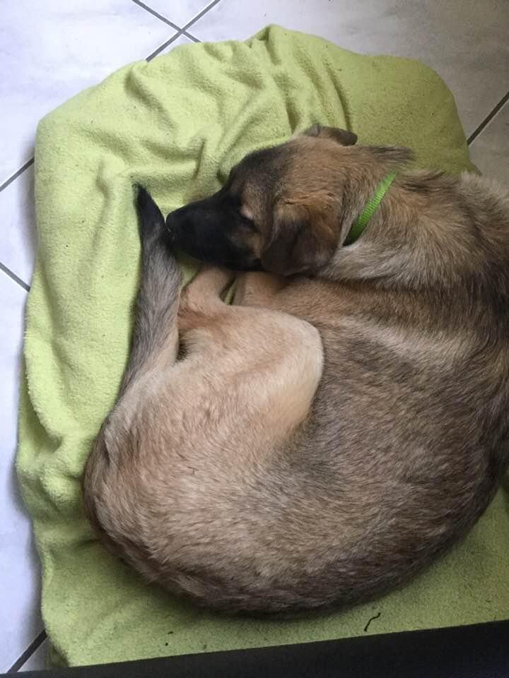 KAYA - femelle croisée, de taille moyenne adulte, née en septembre 2017 - CHEZ ALINA & ANDA. Adoptée par Camille et Alexandre (depart 25) Kaya310