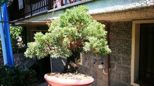A Juniperus from Japan Img_2010