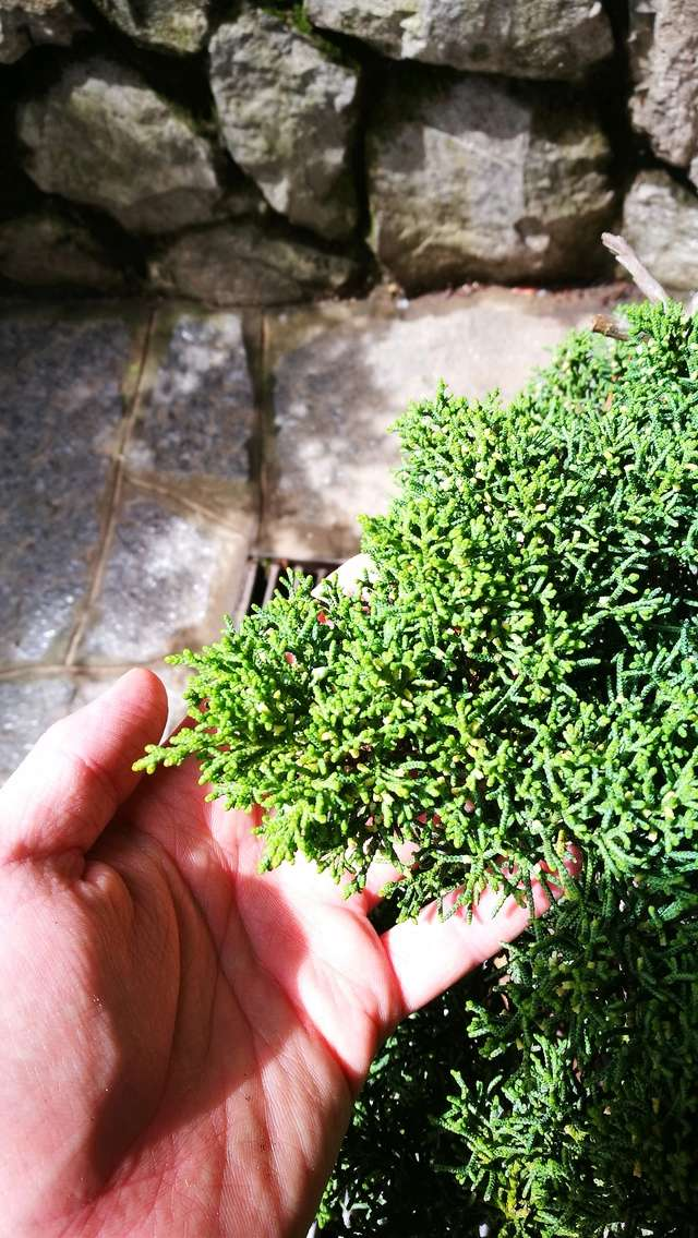 A Juniperus from Japan Img_2011