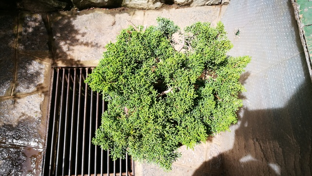 A Juniperus from Japan Img_2012
