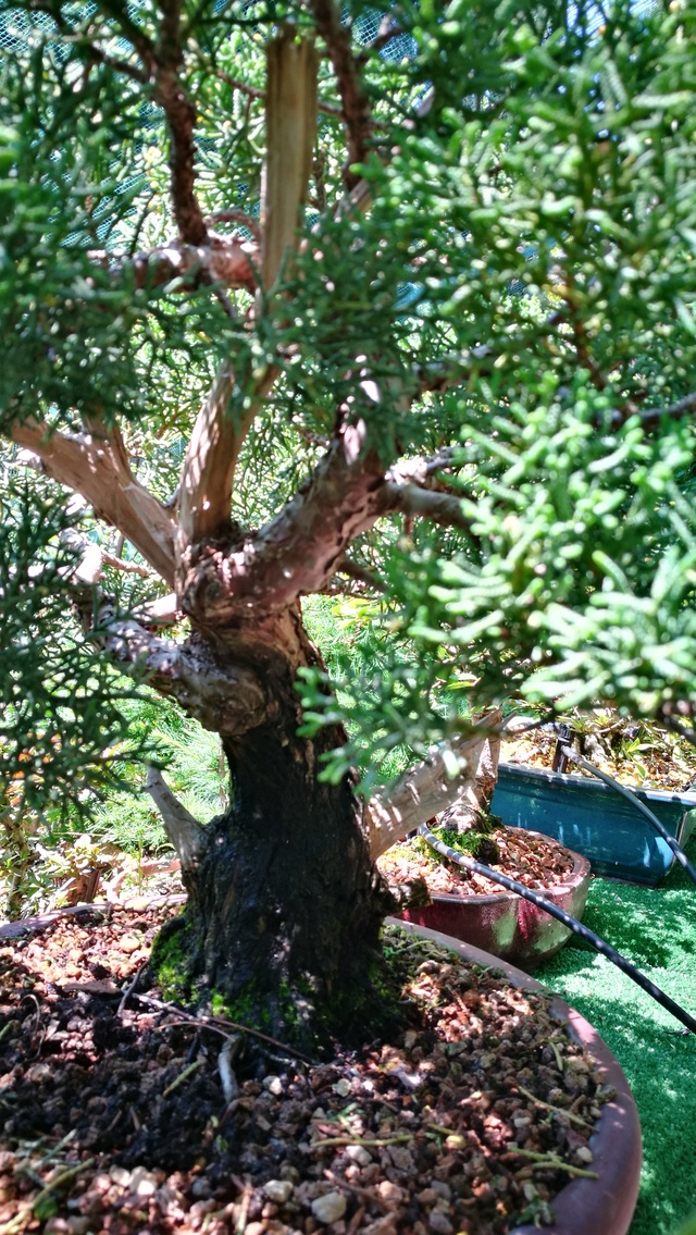 A Juniperus from Japan Img_2013