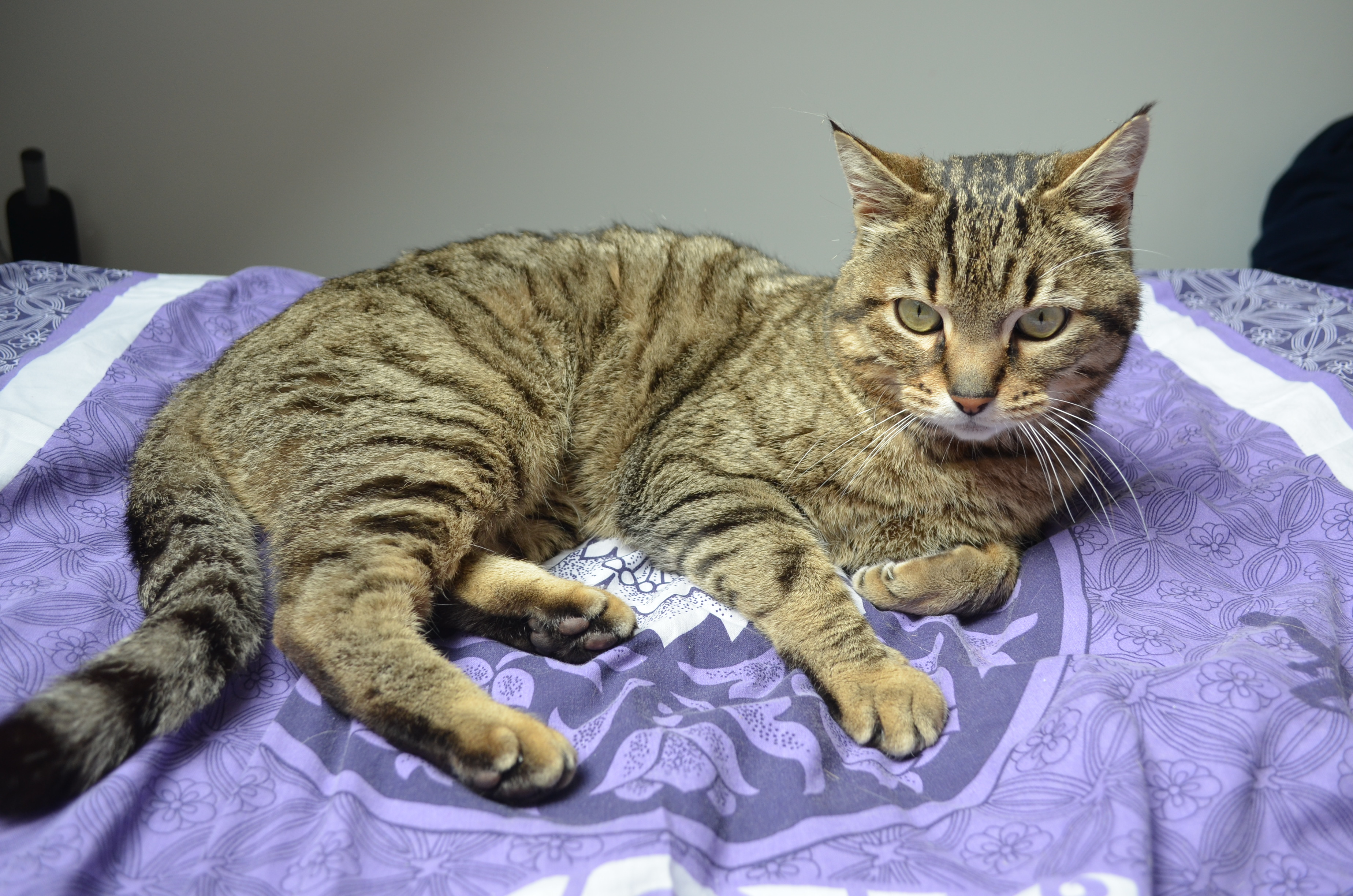 Idina, femelle tigrée, née le 01/01/13, chatte libre à Scaer Dsc_0110