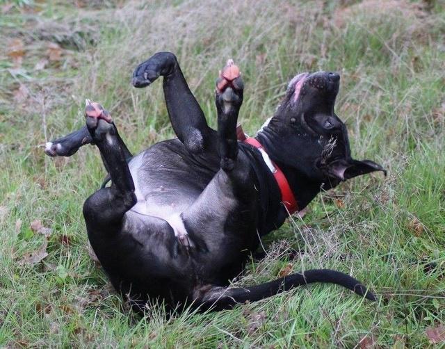 HELIE - femelle Amstaf Terrier - 2013 - UMA 29597310