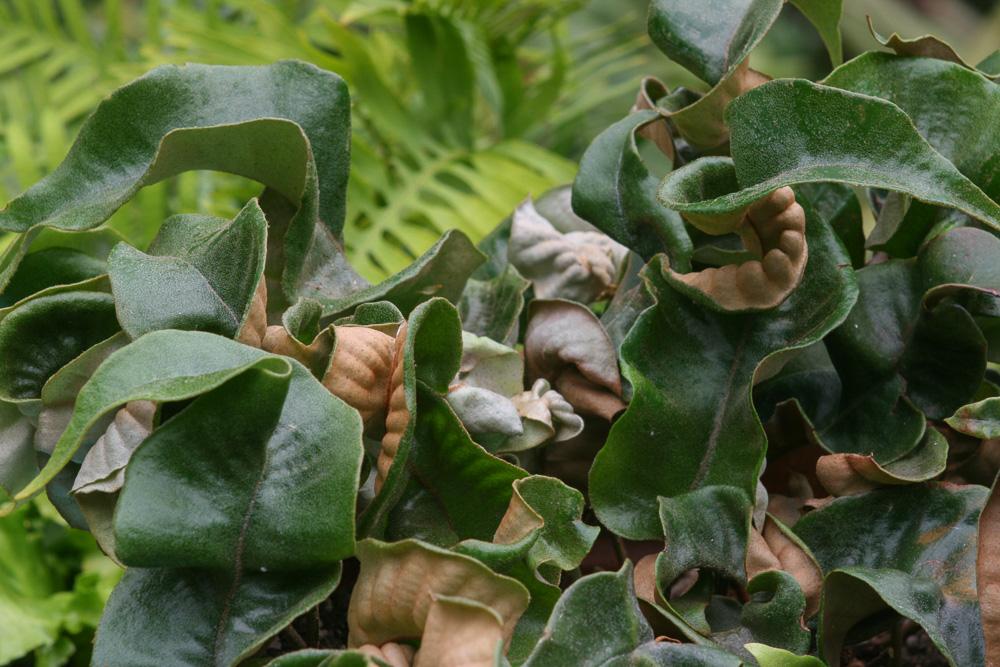 Pyrrosia Lingua et cultivars 20070810