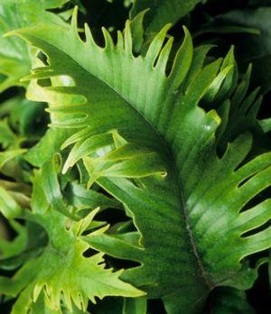 Pyrrosia Lingua et cultivars Deta-110