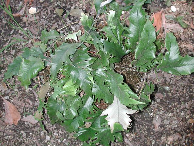 Pyrrosia Lingua et cultivars Dscn2210