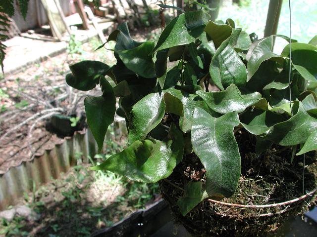 Pyrrosia Lingua et cultivars Dscn2211
