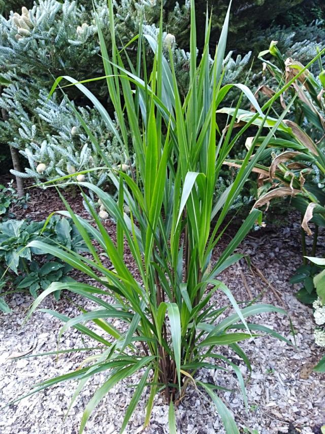 Pennisetum latifolium Img_2029