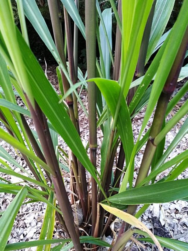Pennisetum latifolium Img_2030