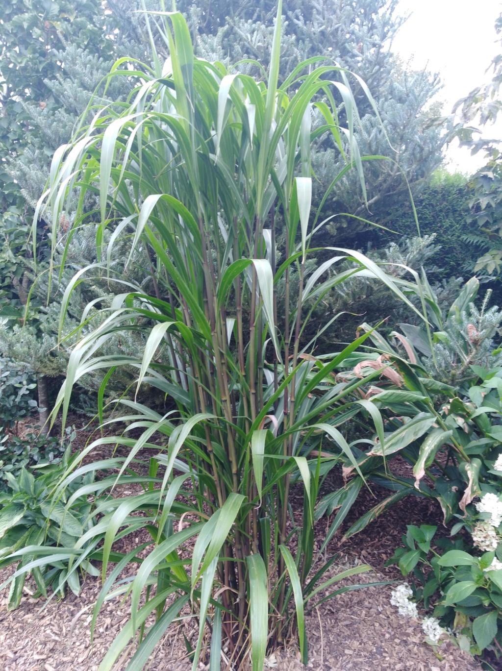 Pennisetum latifolium Img_2065