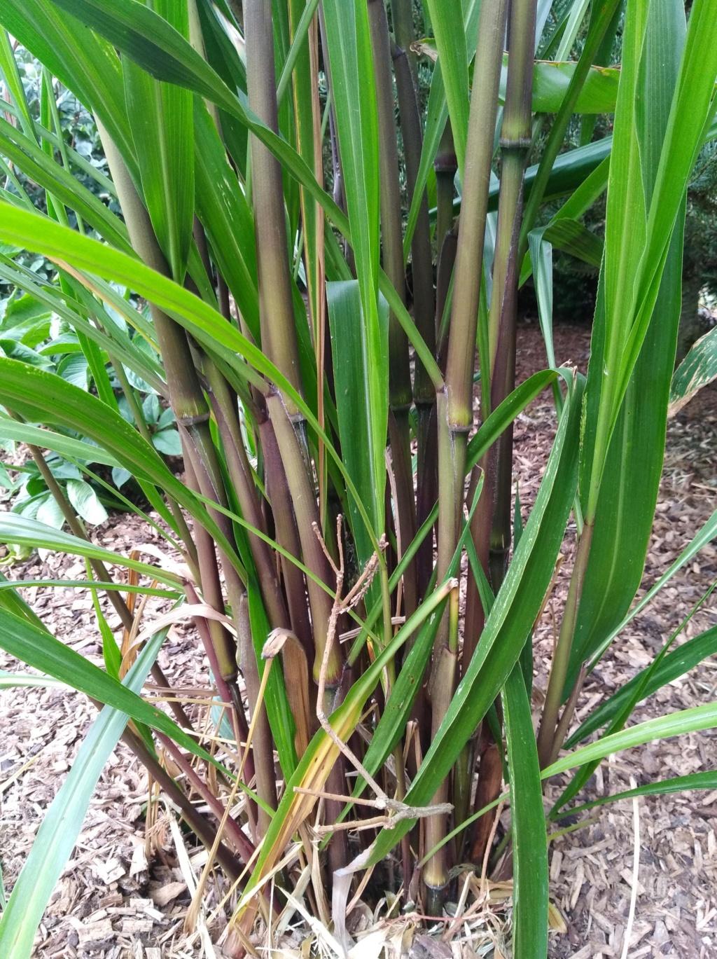 Pennisetum latifolium Img_2066