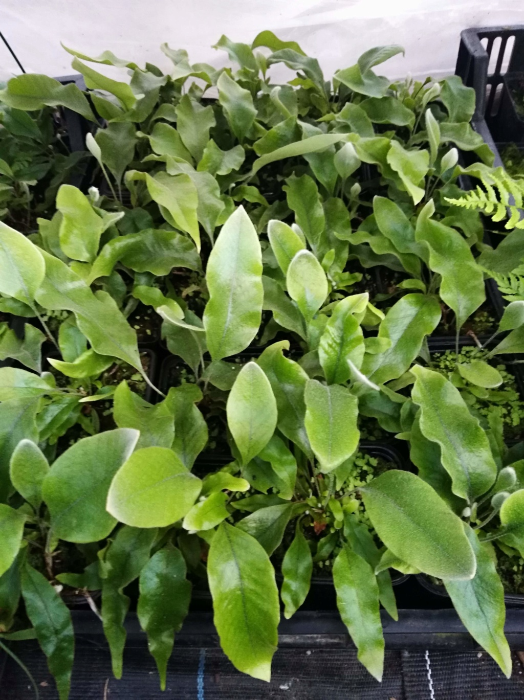 Pyrrosia Lingua et cultivars Img_2070