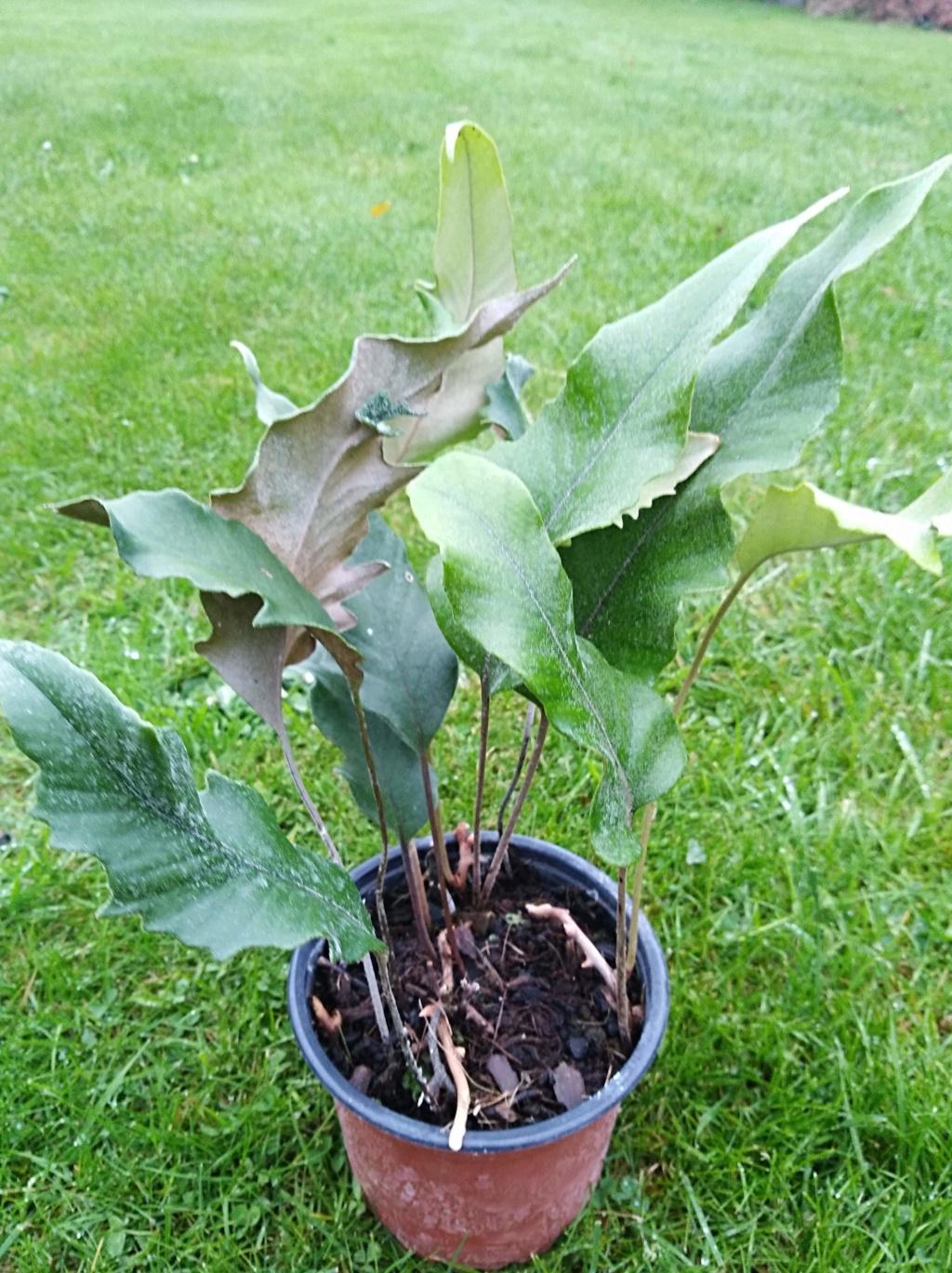 Pyrrosia Lingua et cultivars Img_2073