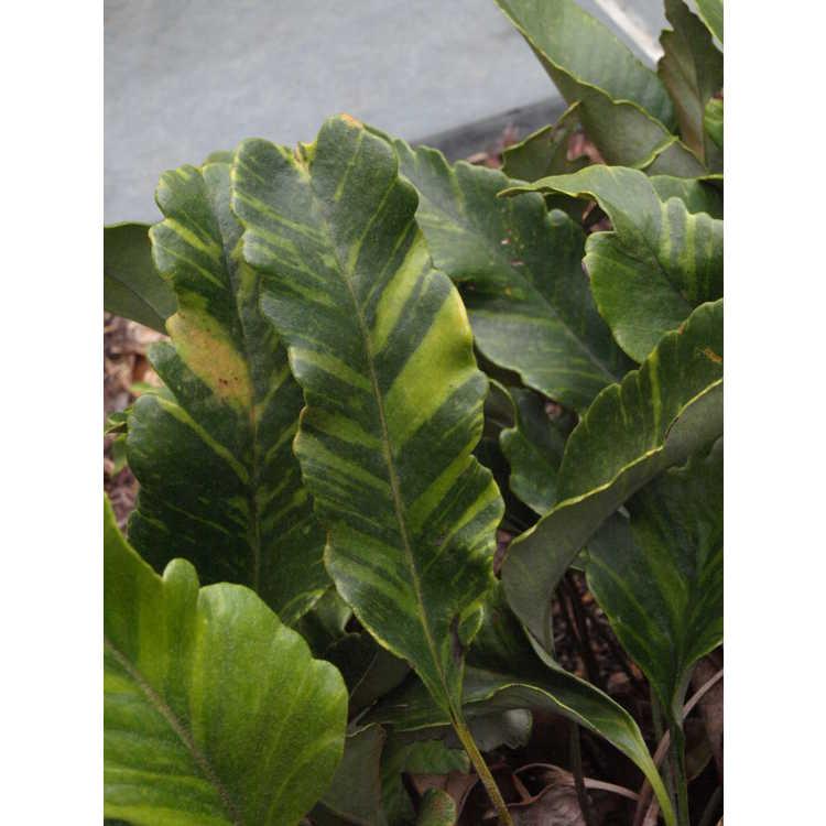 Pyrrosia Lingua et cultivars Pc058710