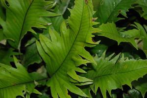 Pyrrosia Lingua et cultivars Pyrosi10