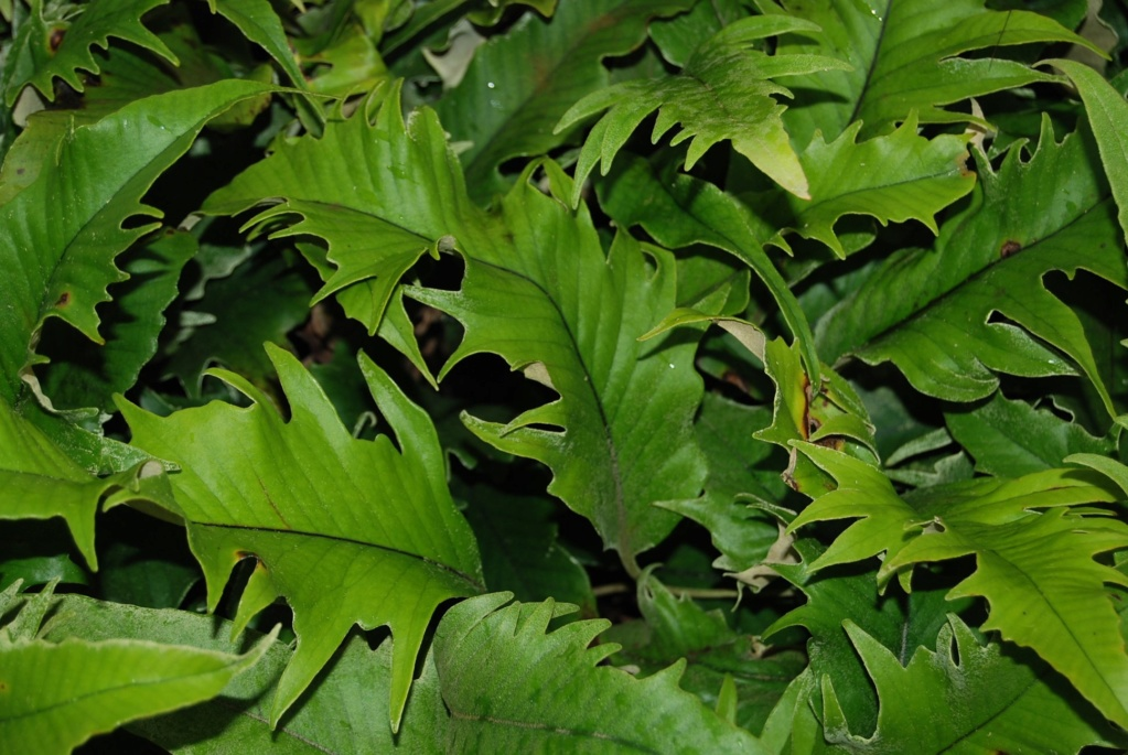 Pyrrosia Lingua et cultivars Pyrosi11