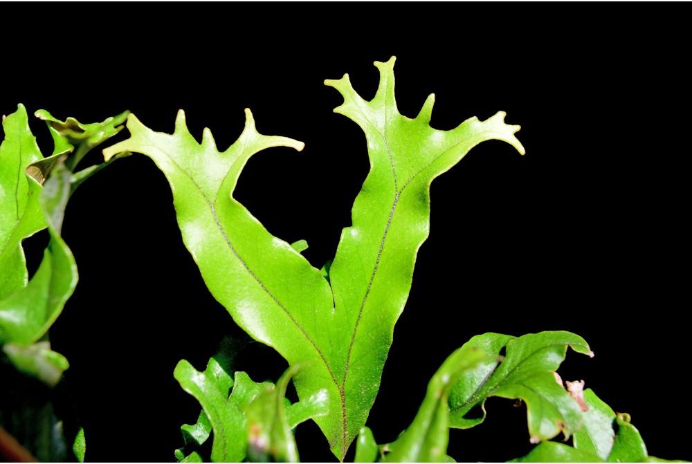 Pyrrosia Lingua et cultivars Pyrros15