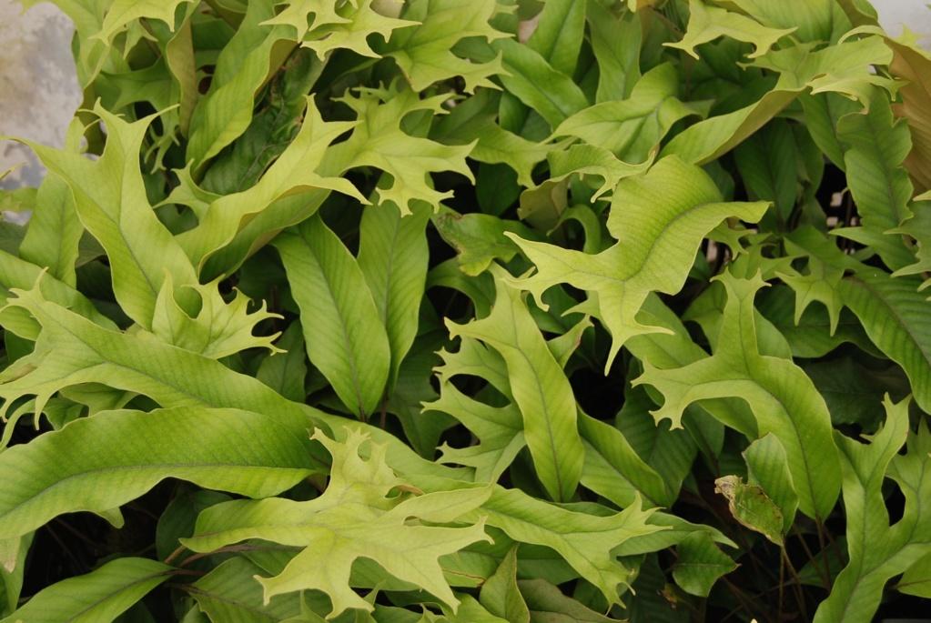 Pyrrosia Lingua et cultivars Pyrros16
