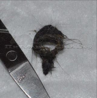 Волосяное кольцо самца дегу 2wgljg10