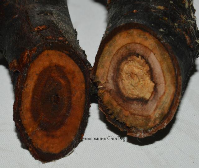 Разрешенные деревья для дегу Dsc_0112