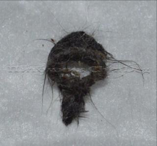 Волосяное кольцо самца дегу Gn3mu510