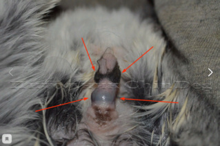 Волосяное кольцо самца дегу Screen11
