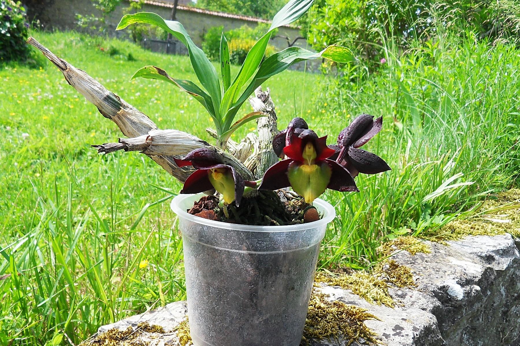 Catasetum tenebrosum (fleurs mâles) 110
