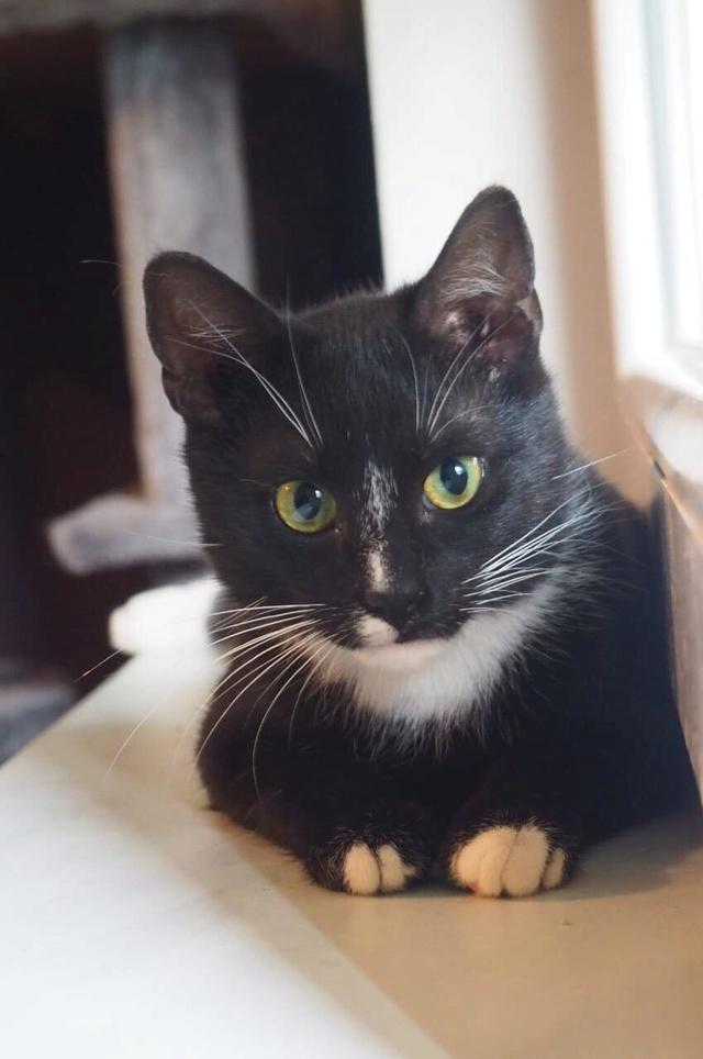 BLACKY chat noir & blanc ~08/2017 - ORASTIE - réservé karen claude Receiv23