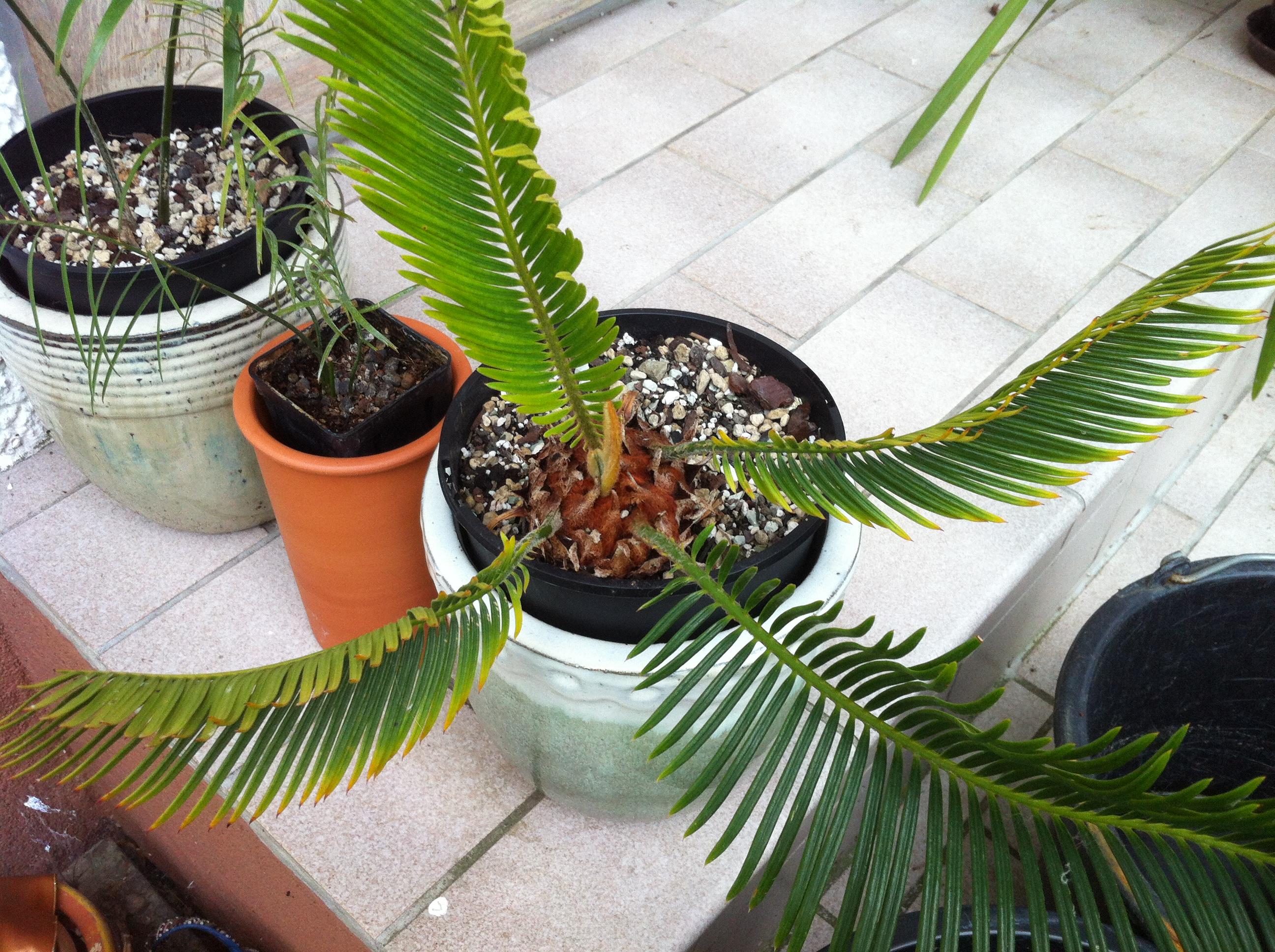 Kübelpflanzen - Seite 14 Dccaff10