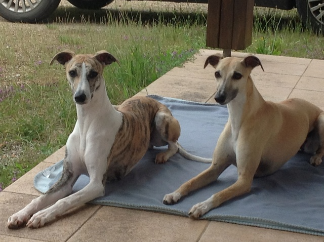 Mes deux whippets , Izzy et Nabucco  - Page 11 Image10