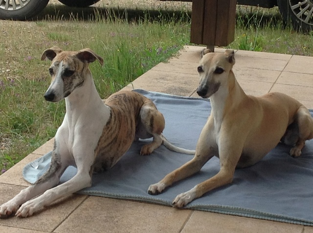 Mes deux whippets , Izzy et Nabucco  - Page 11 Image11